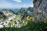 Alpine yellow composite wildflowers bloom along the Lisengrat ridge trail, in the Alpstein limestone range, Appenzell Alps, Switzerland, Europe. The aster, daisy or sunflower family (Asteraceae or Compositae) is the largest family of vascular plants. Weaving through limestone outcroppings, we hiked the stunning Lisengrat, a sinuous chain-protected trail from Rotsteinpass to the summit of Säntis. The Lisengrat is a magnificent ridge route between Säntis (2502 m / 8218 feet elevation) and Altmann (2435 m / 7989 ft), the two highest peaks in Appenzell's Alpstein range. The rocky route is safe, but can be scary for those with fear of heights. Shared by three cantons, Säntis can be reached easily via cable car or with effort via trails, to see vast mountain views across six countries: Switzerland, Germany, Austria, Liechtenstein, France and Italy. The Appenzell Alps rise between Lake Walen and Lake Constance.