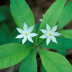 Durham, NH. Starflowers, Trientalis borealis.
