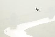Peregrine (Falco peregrinus) in flight above river valley. Sussex, UK.