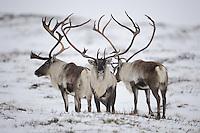 forollhogna national park , norway, september,wild reindeer (Rangifer tarandus)