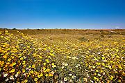 Field Of Yellow Flowers On A Hillside