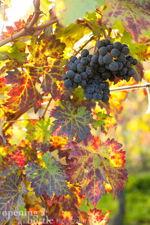 A cluster of nebbiolo grapes, used to make Barolo, Barbaresco and Nebbiolo di Langhe wines, hang from a vine in a vineyard near La Morra (Piedmont), Italy.