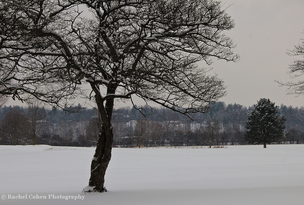 """""""Love Intertwined""""<br /> <br /> The beauty of a lovely tree. Trunks intertwined and beautiful branches covered with snow!!<br /> <br /> Winter in Michigan by Rachel Cohen Winter in Michigan!<br /> <br /> Beautiful winter scenes, winter wonderlands, and lone trees in winter!<br /> <br /> Images in color, B&W, and using selective color.<br /> <br /> If you love winter, snow, trees, rolling hills, and lone trees then you'll find a lovely selection!! <br /> <br /> Winter in Michigan by Rachel Cohen"""