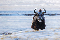 Wild yak, Bos grunniens, standing in snow and looking at camera on the Tibetan Plateau, Yushu, Haixi, Quinghai, China