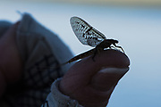 Big dun perches atop the thumb before draggin tail.