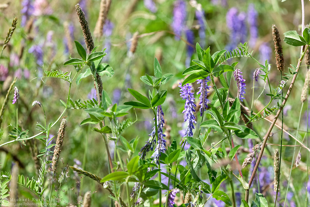 A mix of Tufted Vetch (Vicia cracca) flowers, White Clover leaves, and non-native grass Timothy (Phleum pratense) in an old farm field at Campbell Valley Regional Park in Langley, British Columbia, Canada.