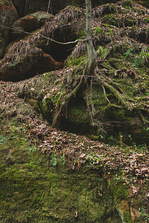 Tree spreads its roots on lone sandstone cliff face near Gūdu klintis in late autumn, Gauja National park (Gaujas nacionālais parks), Latvia Ⓒ Davis Ulands | davisulands.com
