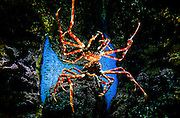 """SHOT 4/23/12 2:28:25 PM - A giant Japanese Spider Crab at the John G. Shedd Aquarium in Chicago, Ill. It is an indoor public aquarium in Chicago, Illinois in the United States that opened on May 30, 1930. The aquarium contains over 25,000 fish, and was for some time the largest indoor aquarium in the world with 5,000,000 US gallons of water. The Shedd Aquarium was the first inland aquarium with a permanent saltwater fish collection. The aquarium has 2 million annual visitors; it was the most visited aquarium in the U.S. in 2005, and in 2007, it surpassed the Field Museum as the most popular cultural attraction in Chicago. It contains 1500 species including fish, marine mammals, birds, snakes, amphibians, and insects. Chicago is the largest city in the US state of Illinois and the third most populous city in the United States, with around 2.7 million residents. Its metropolitan area, sometimes called """"Chicagoland,"""" is the third largest in the United States, with an estimated 9.8 million people within its metropolitan area. Chicago is the county seat of Cook County. Chicago has many nicknames, which reflect the impressions and opinions about historical and contemporary Chicago. The best known include: """"Chi-town,"""" """"Windy City,"""" """"Second City,"""" and the """"City of Big Shoulders. (Photo by Marc Piscotty / © 2012)"""