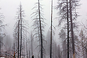 A fresh snowfall over trees destroyed by forest fires in the Valles Caldera National Preserve near Los Alamos, New Mexico.