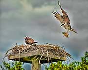 Osprey building a nest in Edith Reid Nature Conservancy, Rye, New York