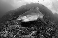 An aggressive Tiger Shark makes a very close pass toward the photographer, closing its nictating membrane to protect its eye.<br /> <br /> <br /> Shot at Cocos Island, Costa Rica