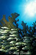 smallmouth grunts, Haemulon chrysargyreum, <br /> schooling under elkhorn coral, Acropora palmata, <br /> Molasses Reef, Key Largo, Florida ( Atlantic Ocean ) <br /> Florida Keys National Marine Sanctuary