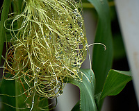 Hairy corn. Backyard urban garden in St. Petersburg. Image taken with a Fuji X-T2 camera and 100-400 mm OIS lens (ISO 200, 291 mm, f/5.6, 1/350 sec).