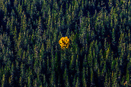 Yellow tree in the middle of a pine firest