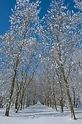 Shelterbelt trees covered in hoarfrost<br />Near Deacon's Corner<br />Manitoba<br />Canada