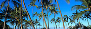 Coconut Palm Trees, Hawaii, USA<br />