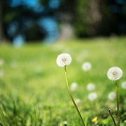 Dandelion seed heads against green grass.