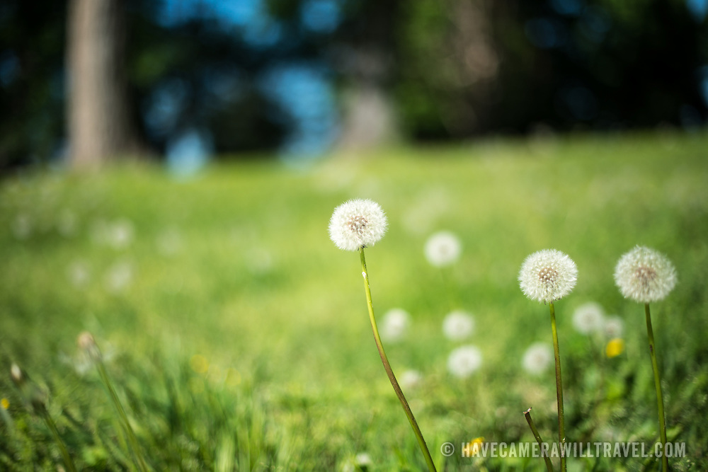 Dandelion seed heads against green grass.