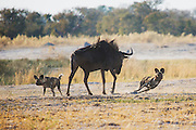 African Wild Dogs (Lycaon pictus) singling out a wildebeest (Connochaetes) from its herd during a morning hunt, Moremi Game Reserve,Botswana, Africa