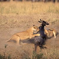 Kenya, Masai Mara Game Reserve, Lions (Panthera leo) ambush and kill Wildebeest (Connochaetes taurinus) by Mara River