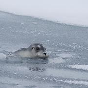 Bearded Seal in the Beaufort Sea, Alaska.