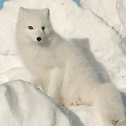 Arctic Fox along the ice edge of Hudson Bay, Cape Churchill, near Churchill, Manitoba, Canada