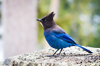 An incredibly blue (and brazen) Steller's Jay photographed about one-third the way way up Mount Rainier in Washington State.