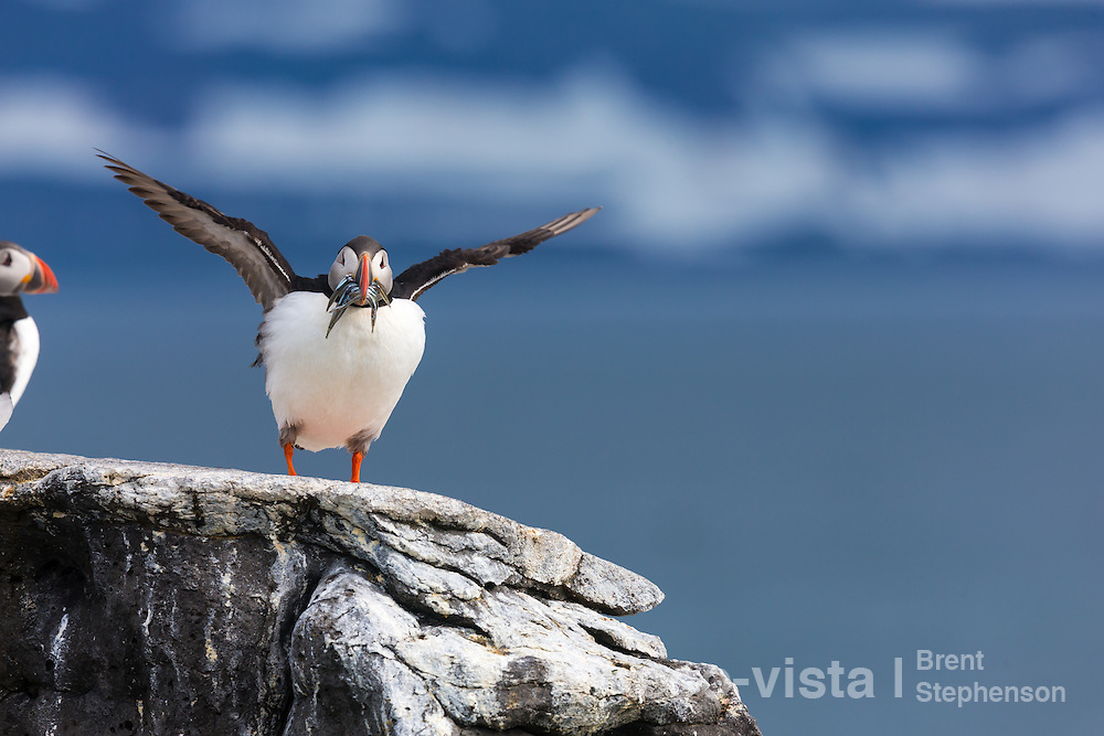An Atlantic puffin (Fratercula arctica) stands on a rock overlooking the sea, with a beakful of sand eels (Ammodytidae) flapping its wings, waiting to head back to its chick in the breeding burrow. Vigur Island, Isafjardardjup, Iceland. July.