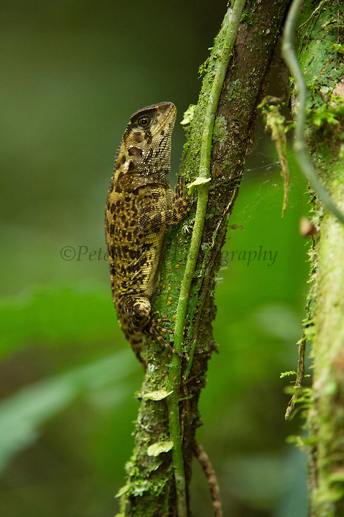 Cofan Wood Lizard (Enyalioides cofanorum)<br /> Yasuni National Park, Amazon Rainforest<br /> ECUADOR. South America<br /> HABITAT & RANGE: Amazonia lowlands of Ecuador & Peru