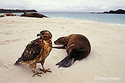 juvenile Galapagos hawk, Buteo galapagoensis, investigates a wounded sea lion, Zalophus californianus, Galapagos Islands, Ecuador, ( Eastern Pacific )