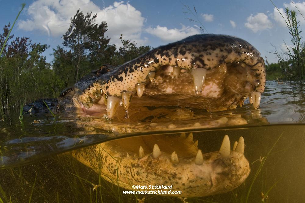 An American Alligator, Alligator mississippiensis, displays a toothy grin. Everglades National Park, Florida, USA