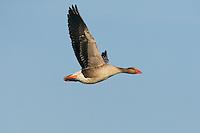 Greylag Goose (Anser anser), Texel, the Netherlands