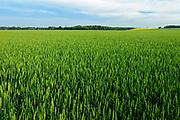 Wheat filed, Saint Leon, Manitoba, Canada