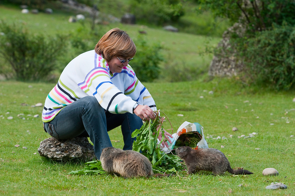 Alpine marmot being fed by local of Guillestre, Marmota marmota, Taraxacum vulgare, Homo sapiens, Queyras, France, Europe