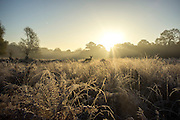 © Licensed to London News Pictures. 06/11/2014. Richmond, UK. Deer in frosty grass.  People and animals during a frosty start to the day on 6th November 2014. Temperature fell across the country overnight. Photo credit : Stephen Simpson/LNP