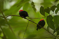 Red-capped Manakin (Pipra mentalis)<br />Two adult males together at a lek.<br /><br /><br />Location:  N 09º09.38', W79º44.56'<br />Soberama National Park, Gamboa, Panama