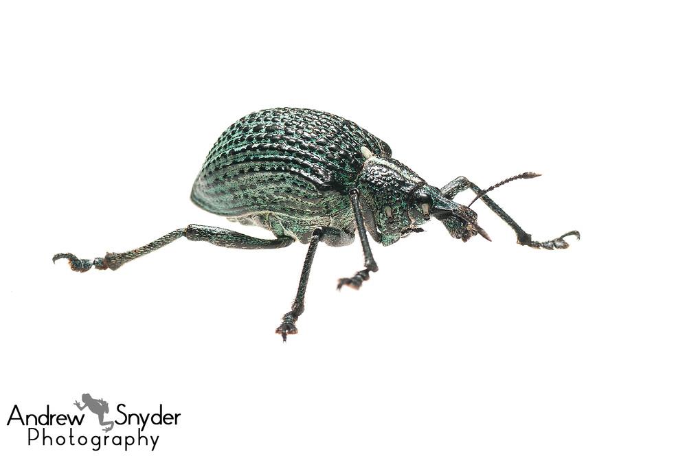 Weevil, Curculionidae, Iwokrama, Guyana, July, 2013