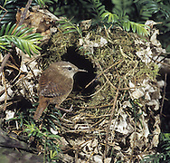 Wren Troglodytes troglodytes L 9-10cm. Tiny, dumpy bird that cocks tail upright. Unobtrusive and often creeps through low vegetation. Call is distinctive. Sexes are similar. Adult and juvenile have dark reddish brown upperparts with barring on wings and tail. Underparts are greyish white with buff wash to flanks; note striking, pale supercilium. Bill is needle-like and legs are reddish. Voice Utters a loud, rattling alarm call; warbling song ends in a trill. Status Widespread resident of all sorts of habitats with dense undergrowth.