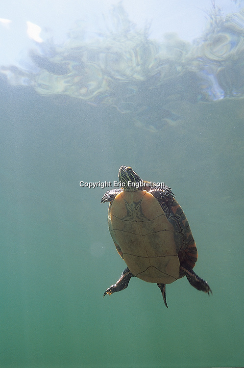 Painted Turtle<br /> <br /> ENGBRETSON UNDERWATER PHOTO