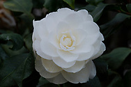 Camellia 'Japonica 'Alba Plena' blooming in February in the conservatory at Chiswick House, Chiswick, London, UK