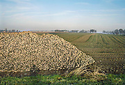 Nederland, Groesbeek, 26-11-2010Een grote berg suikerbieten ligt langs de weg om naar de fabriek vervoerd te worden.Foto: Flip Franssen/Hollandse Hoogte