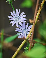 Chicory flower. Image taken with a Leica SL2 camera and Sigma 100-400 mm lens