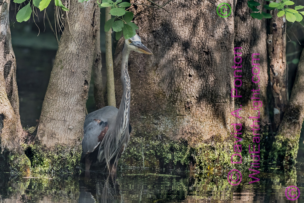 Great blue heron emerges from between tree bases in a deep pool, Big Cypress National Preserve, Florida, © David A. Ponton
