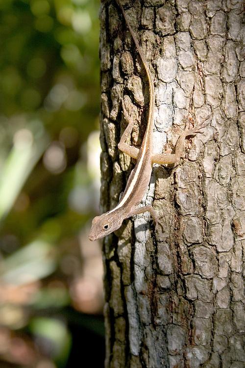 Lizard sunning itself on a tree in St. John, U.S. Virgin Islands.
