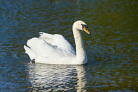 Mute Swan (Cygnus olor) swimming, Hollow Ponds, Leytonstone, London , Essex, England