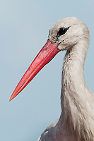 White Stork (Ciconia Ciconia) around Prypiat area, Turov, Belarus