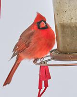 Northern Cardinal (Cardinalis cardinalis). Image taken with a Fuji X-T3 camera and 200 mm f/2 OIS lens with a 1.4x teleconverter.