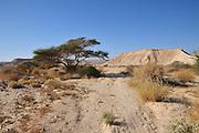 Israel, Arava Desert, a lone Acacia tree