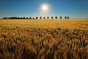 WHeat crop and sunrise<br /> STarbuck<br /> Manitoba<br /> Canada