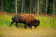 Wood bison (Bison bison athabascae) <br />Coal River<br />British Columbia<br />Canada